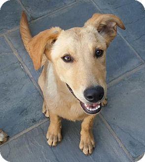 Labrador Retriever/Golden Retriever Mix Dog for adoption in Castaic, California - Ginger