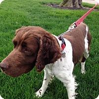 Adopt A Pet :: OH/Blaze Pending Adoption - Pittsburgh, PA