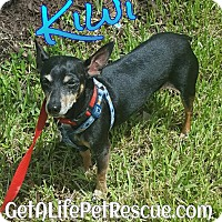 Adopt A Pet :: Kiwi - Wellington, FL