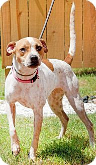Australian Cattle Dog/Beagle Mix Dog for adoption in Pensacola, Florida - Starlet