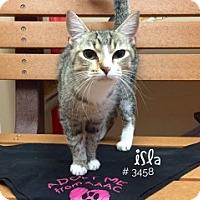 Domestic Shorthair Cat for adoption in Alvin, Texas - Isla