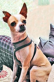 Chihuahua Mix Dog for adoption in San Diego, California - PeaWee