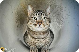 Domestic Shorthair Cat for adoption in Clearwater, Florida - Marty