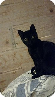 Domestic Shorthair Kitten for adoption in Tampa, Florida - Clawdette