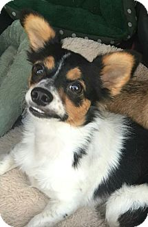 Jack Russell Terrier Mix Dog for adoption in San Diego, California - Rhonda