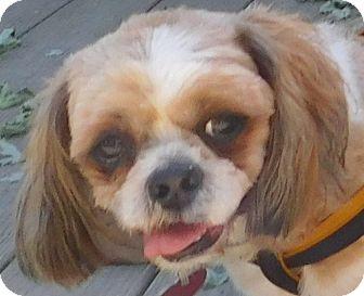 Shih Tzu Mix Dog for adoption in MINNEAPOLIS, Kansas - Simba