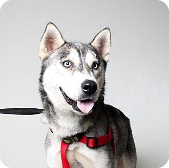 Husky Dog for adoption in Edina, Minnesota - Simba D161439: PENDING ADOPTION