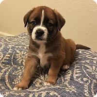 Adopt A Pet :: Mikey - oklahoma city, OK