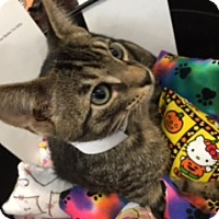 Domestic Shorthair Kitten for adoption in Spring Brook, New York - Barker