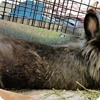 Lionhead Mix for adoption in Fairfax, Virginia - Huckleberry Finn