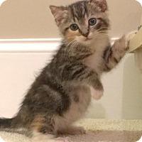Adopt A Pet :: Belle - Devon, PA