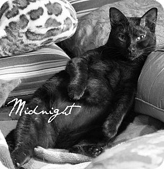 Domestic Shorthair Cat for adoption in McKinney, Texas - Midnight