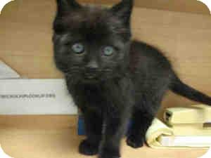 Domestic Shorthair Kitten for adoption in Arlington, Virginia - Taz (and Art)