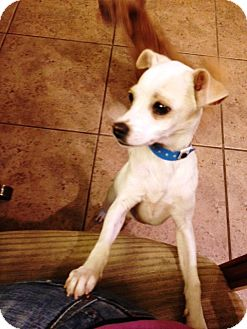 Terrier (Unknown Type, Medium)/Chihuahua Mix Puppy for adoption in Las Vegas, Nevada - Rocket