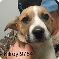 Adopt A Pet :: Kilroy - baltimore, MD