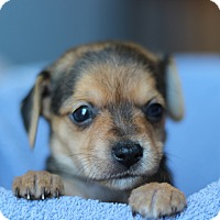 Adopt A Pet :: Chica's Pup- Kinzie - Romeoville, IL