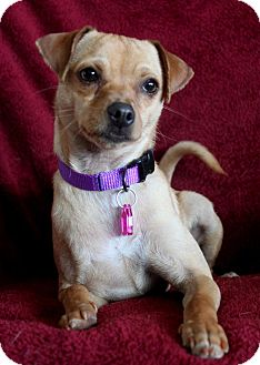 Chihuahua/Terrier (Unknown Type, Small) Mix Dog for adoption in Wichita, Kansas - Maci