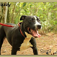 Labrador Retriever/American Staffordshire Terrier Mix Dog for adoption in Sarasota, Florida - Mazzy
