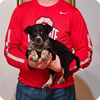 Adopt A Pet :: Mercedes - New Philadelphia, OH