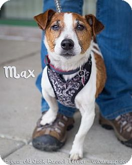 Jack Russell Terrier Mix Dog for adoption in Newport, Kentucky - Max