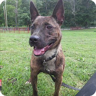 Dutch Shepherd/Staffordshire Bull Terrier Mix Dog for adoption in Louisville, Kentucky - Roxie
