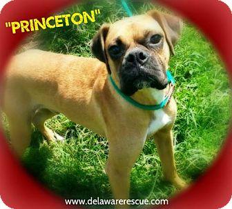 Boxer Dog for adoption in Seaford, Delaware - Princeton (Pending Adoption)