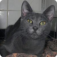 Adopt A Pet :: Russian Blue Shy Young Beauty Marta - Brooklyn, NY
