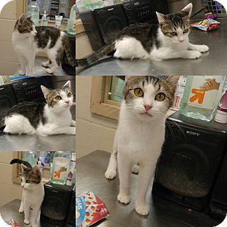 Domestic Shorthair Cat for adoption in Triadelphia, West Virginia - B-2