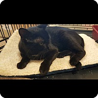 Domestic Shorthair Cat for adoption in Ortonville, Michigan - Anise