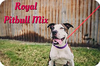Pit Bull Terrier Mix Dog for adoption in Cheney, Kansas - Royal
