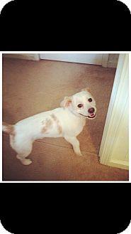 Cocker Spaniel Mix Dog for adoption in Gainesville, Georgia - Cane