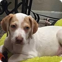 Adopt A Pet :: Kole - Gainesville, FL