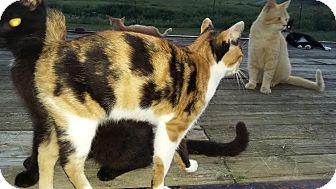 Manx Cat for adoption in Mosheim, Tennessee - Gloria