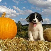 Adopt A Pet :: Jolene - Attalla, AL