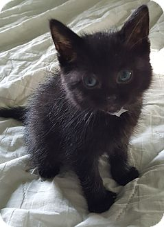 Domestic Shorthair Kitten for adoption in Woodstock, Ontario - Layla