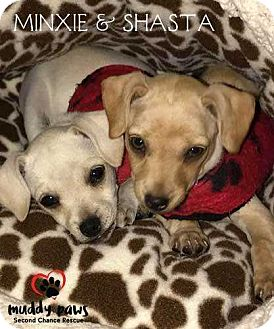 Chihuahua/Dachshund Mix Puppy for adoption in Council Bluffs, Iowa - Shasta