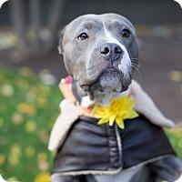 Adopt A Pet :: Amaira - Des Peres, MO