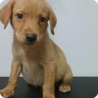 Adopt A Pet :: Baby Lincoln--No Longer Accepting Applications - Potomac, MD