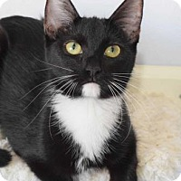 Domestic Shorthair Cat for adoption in Las Vegas, Nevada - Twilight
