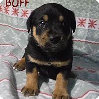 Adopt A Pet :: Buff - Batesville, AR