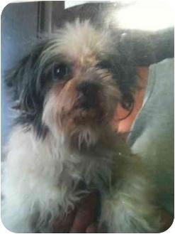 Shih Tzu Mix Dog for adoption in Kingsburg, California - Syble