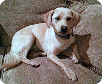 Labrador Retriever/Terrier (Unknown Type, Medium) Mix Dog for adoption in Baton Rouge, Louisiana - Ally Oop