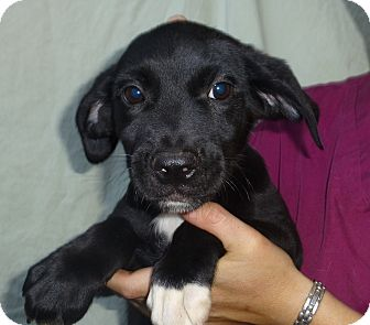 Labrador Retriever/Golden Retriever Mix Puppy for adoption in Oviedo, Florida - Lon