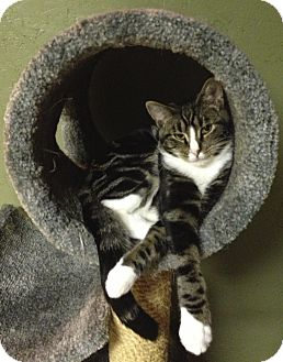 Domestic Shorthair Cat for adoption in Hyde Park, New York - Nathaniel