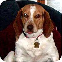 Adopt A Pet :: Speckles - Novi, MI