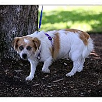 Adopt A Pet :: Boba - Santa Ana, CA