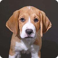Adopt A Pet :: Pudge - Sudbury, MA
