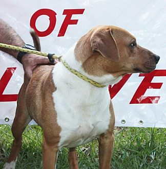 American Bulldog Mix Dog for adoption in Grayson, Louisiana - Rex