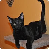 Adopt A Pet :: Trent - O'Fallon, MO