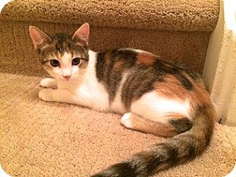 Calico Kitten for adoption in Lambertville, New Jersey - Midge